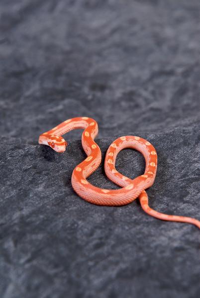 Priscilla, RIP. Albino Amel Motley corn snake