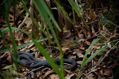Eastern Indigo Snake, Hernando County, Florida