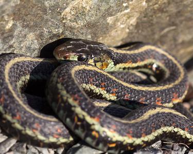 Valley Garter Snake