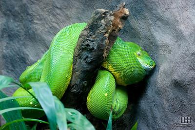 Green Tree Python (Chondropython viridis)