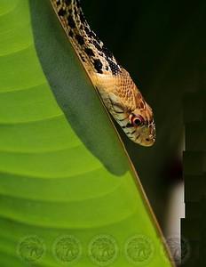 Slithering Snake - Alpine, Ca