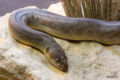 Woma (Aspidites ramsayi)