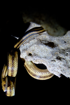 Yellow Rat Snake, Citrus County