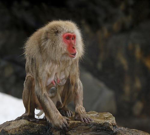 Snow Monkey<br /> Macaca fuscata,