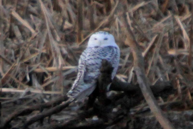 Snowy owl12-7_12 07 13_9200_edited-1