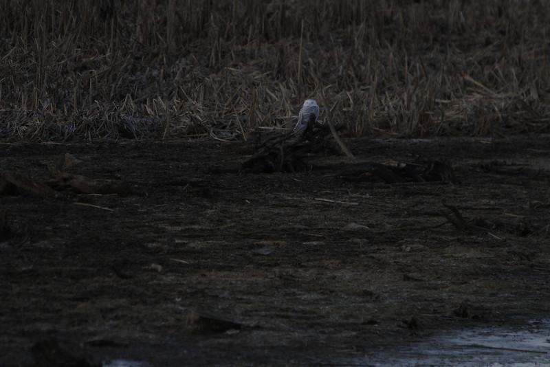 Snowy owl12-7_12 07 13_9205