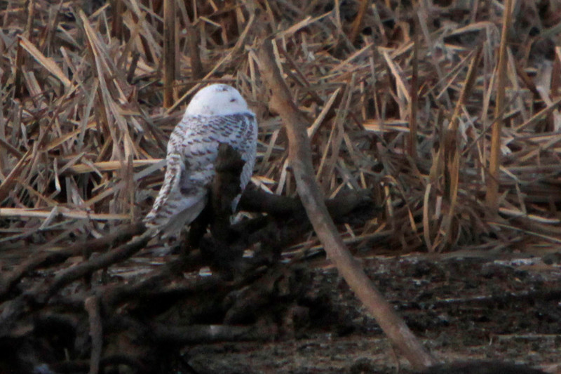 Snowy owl12-7_12 07 13_9198_edited-1