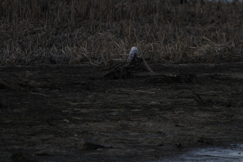 Snowy owl12-7_12 07 13_9203