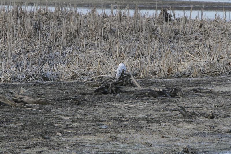 Snowy owl12-7_12 07 13_9169