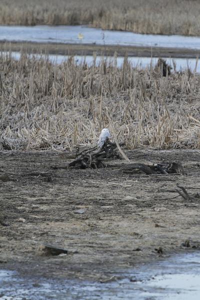 Snowy owl12-7_12 07 13_9248