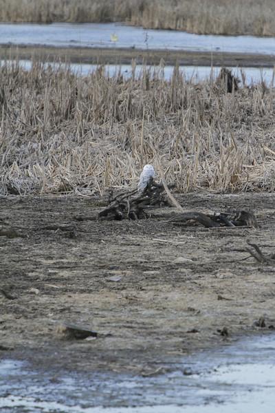 Snowy owl12-7_12 07 13_9251