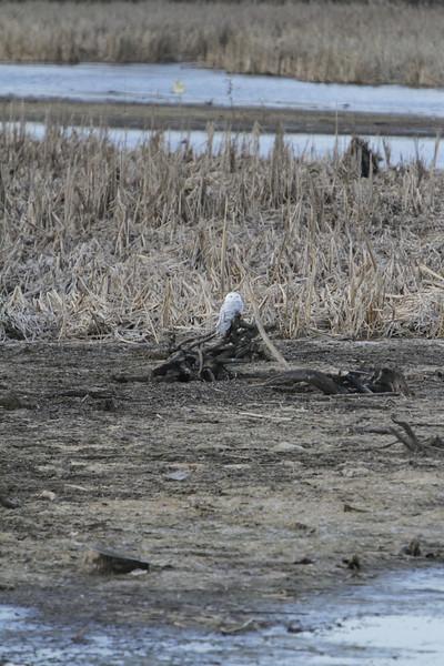 Snowy owl12-7_12 07 13_9244