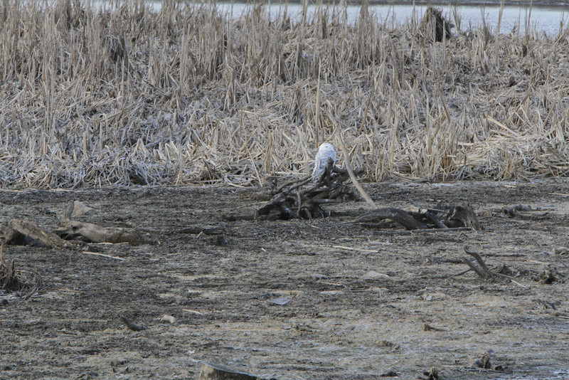 Snowy owl12-7_12 07 13_9161
