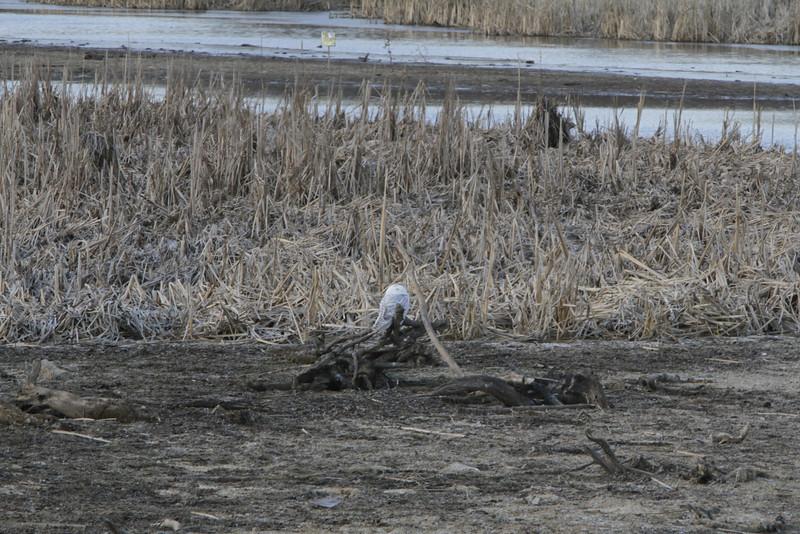 Snowy owl12-7_12 07 13_9189