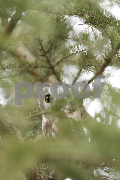 Mar 22 2011_Snow owl and swan_3982
