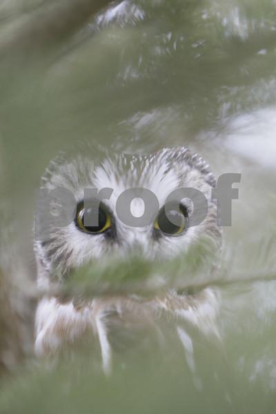 Mar 22 2011_Snow owl and swan_4001