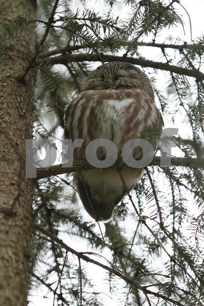 Mar 22 2011_Snow owl and swan_4035