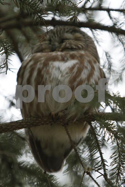 Mar 22 2011_Snow owl and swan_4033