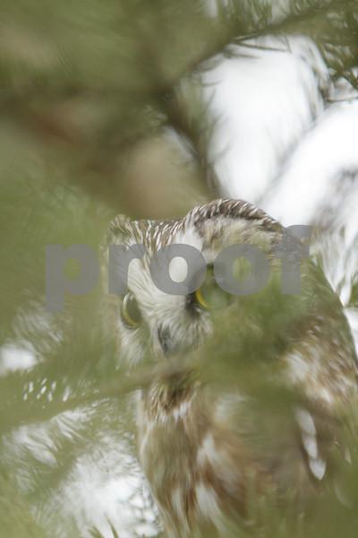 Mar 22 2011_Snow owl and swan_3979