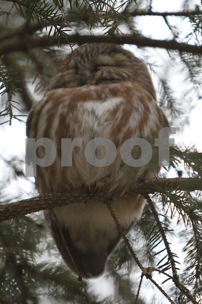 Mar 22 2011_Snow owl and swan_4043