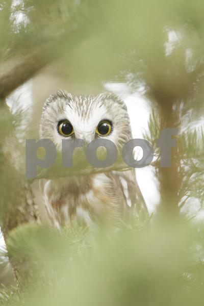Mar 22 2011_Snow owl and swan_3993