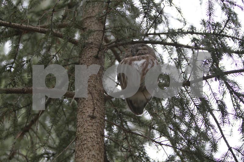 Mar 22 2011_Snow owl and swan_4023