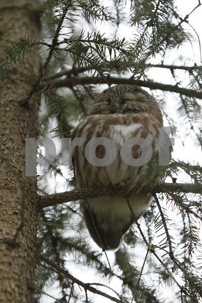 Mar 22 2011_Snow owl and swan_4039