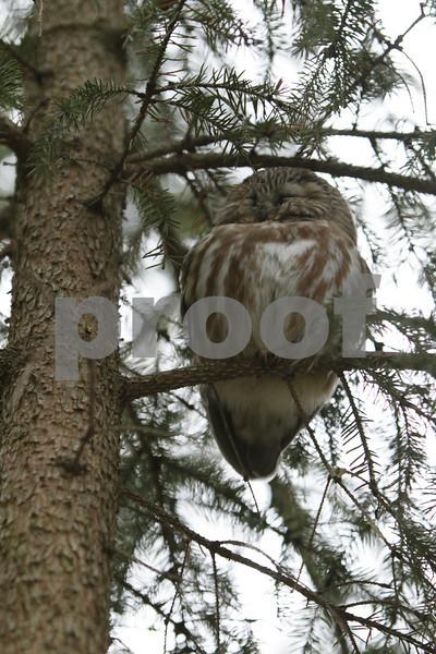 Mar 22 2011_Snow owl and swan_4037