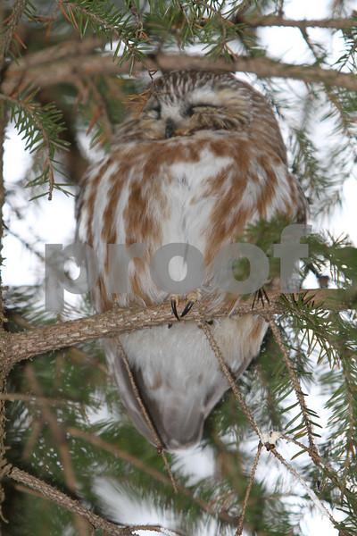 Mar 22 2011_Snow owl and swan_4042