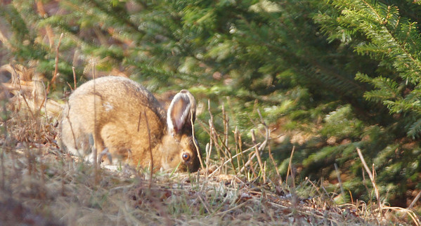 snowshoe rabbits