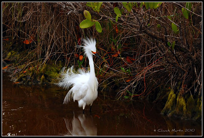 Snowy Egret, showing off breeding plumage.