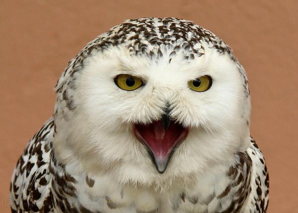 Katie, Snowy Owl