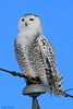 Snowy Owl : A few of the images from today's visit with a Snowy Owl.