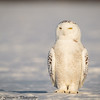 Snowy Owls - Grinch-27