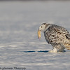 snowy owls - Charlie's mouse