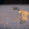 snowy owls - DA