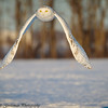 snowy owls - Grinch-23