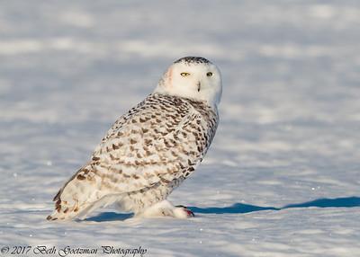 snowy olws, Charlie-2