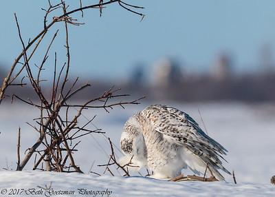 snowy olws, Charlie-12