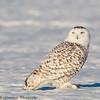 snowy owls - Charlie
