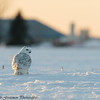 Snowy Owls - Grinch-28