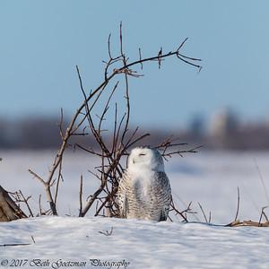 snowy olws, Charlie-13