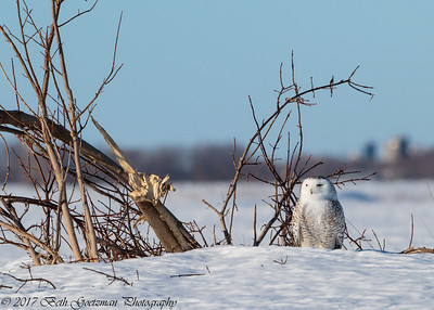snowy olws, Charlie-14