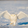 snowy owls - Grinch-26