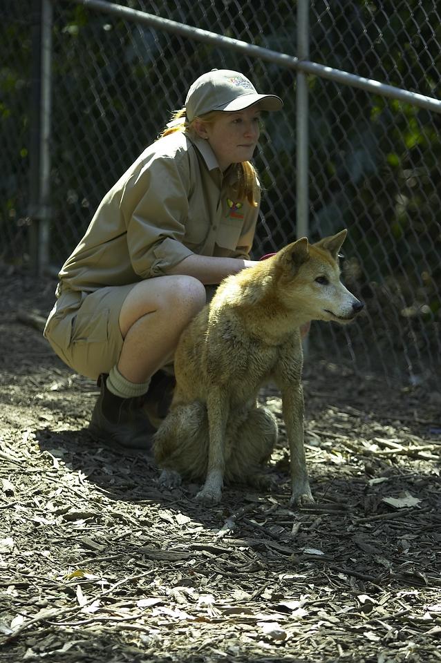 Dingo.<br /> <br /> (Canis familiaris).