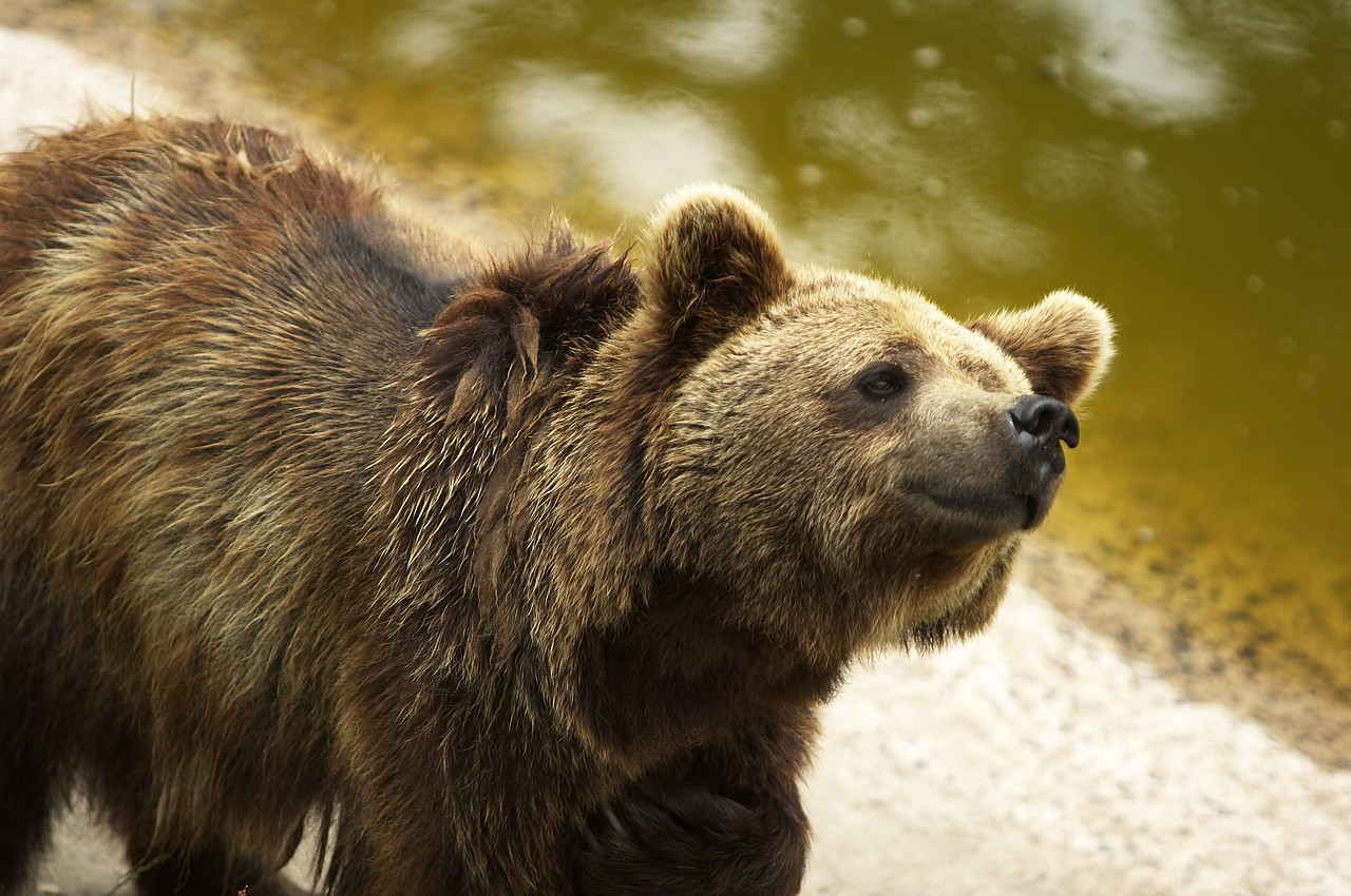Bear.<br /> <br /> European Brown Bear (Ursus arctos).