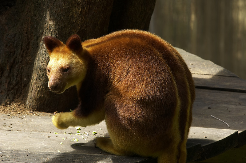 Tree Kangaroo<br /> <br /> (Dendrolagus ursinus)