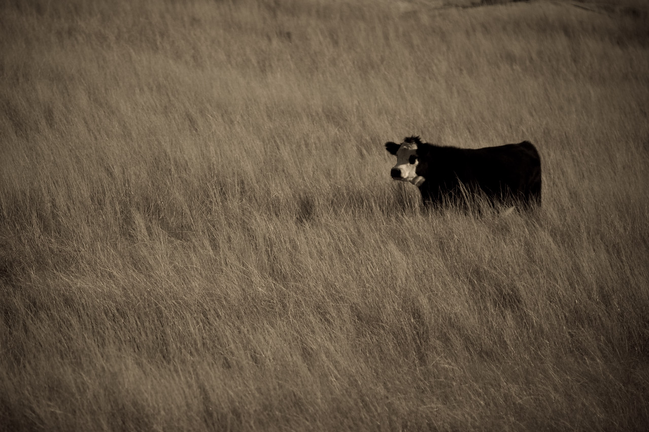 Cow in long grass near Tidbinbilla, Canberra. May 2008.