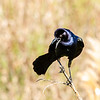 Boattail Grackle (M)