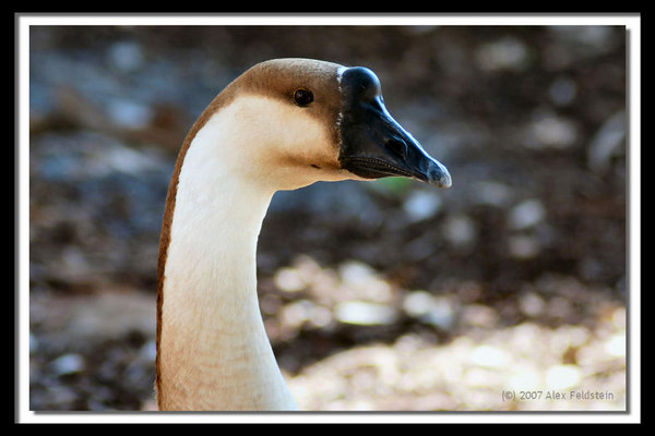 Swan Goose (also known as Chinese Goose)